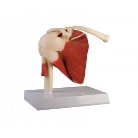 Articulation de l'épaule humaine, grandeur nature avec muscles Erler Zimmer