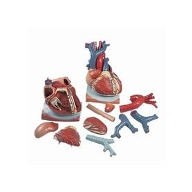Coeur sur diaphragme, agrandi 3 fois, en 10 parties