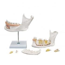 Hémi-mandibule, agrandie 3 fois, en 6 parties