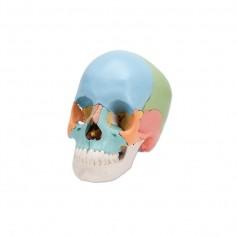 Crâne didactique articulé 3B scientific couleur