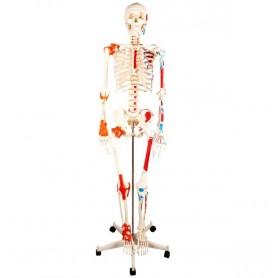Squelette anatomique ecopro 2
