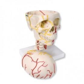 Crâne neurovasculaire 3B Scientific