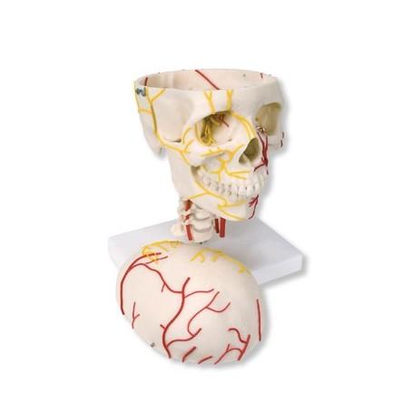 Crâne neurovasculaire