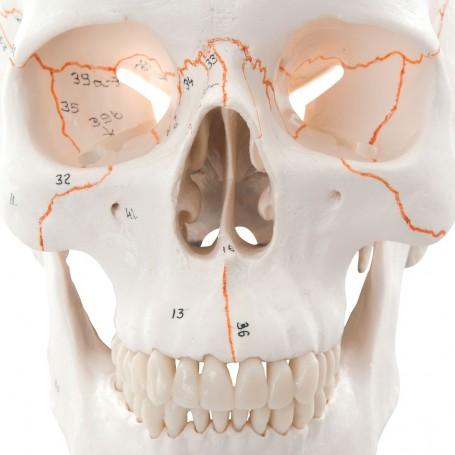 Crâne classique avec numérotation