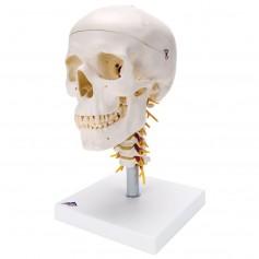 Crâne sur colonne vertébrale cervicale, en 4 parties