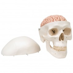 Crâne avec cerveau, en 8 parties