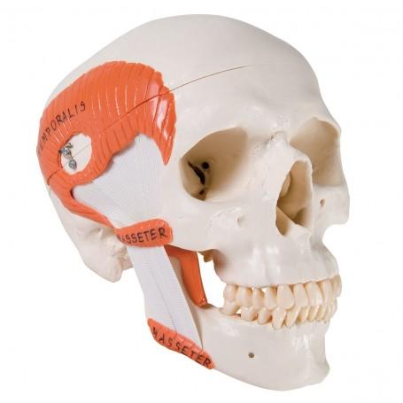 Crâne avec musculature de mastication, en 2 parties