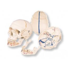 Crâne classique avec mandibule ouverte, en 3 parties