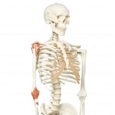 Léo, le squelette avec ligaments, sur support à 5 roulettes