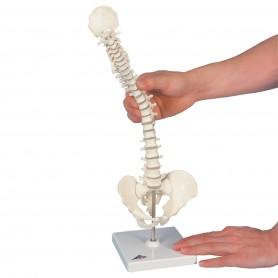 Colonne vertébrale miniature, élastique, sur support