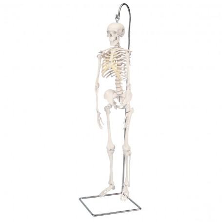 """Mini-squelette """"Shorty"""", suspendu (sur support)"""
