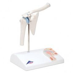 Articulation miniature de l'épaule avec coupe transversale , sur socle