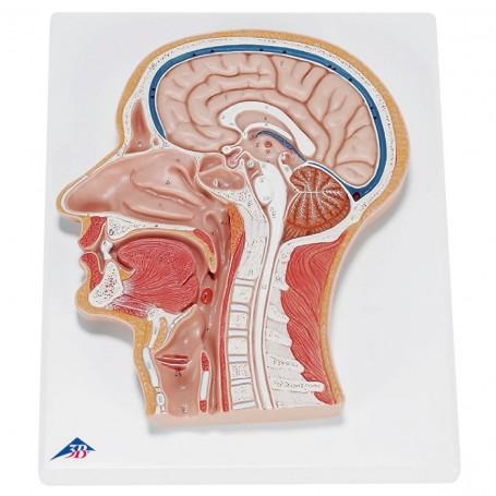 Coupe médiane de la tête