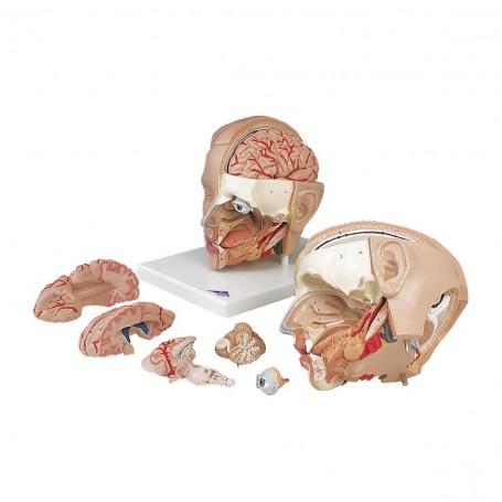 Modèle de tête, en 6 parties