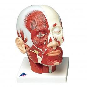 Musculature de la tête avec nerfs