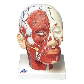 Musculature de la tête avec vaisseaux sanguins