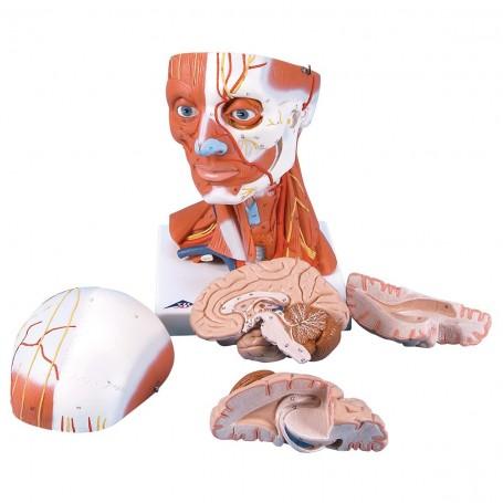 Musculature de la tête, en 5 parties