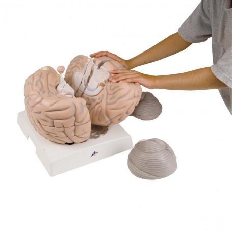 Cerveau géant, agrandi 2,5 fois, en 14 parties