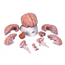 Cerveau avec artères, en 9 parties