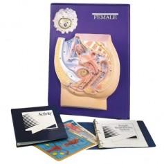 Modèle pratique d'instructionillustrant les organes génitaux