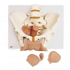 Squelette du bassin féminin avec organes génitaux, en 3 part