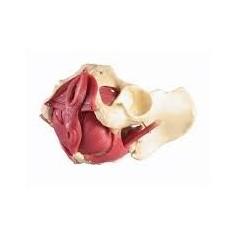 Plancher pelvien de femme, 12 pièces