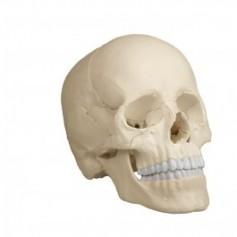 Crâne articulé erler zimmer blanc 22 pièces Version anatomique