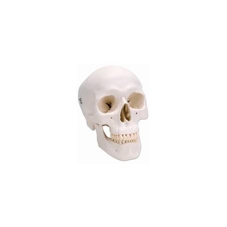 Crâne classique, en 3 parties A20 en resine a 64 euros