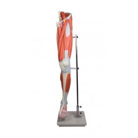 Muscles du jambe, 13 pièces