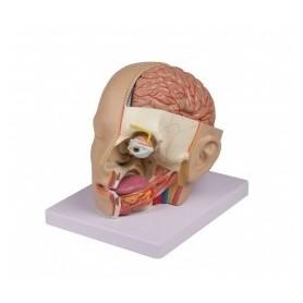 Modèle de tête en 4 parties