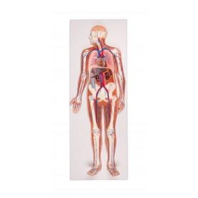 Système circulatoire