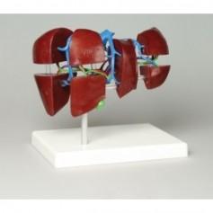 Anatomie du foie segmentation