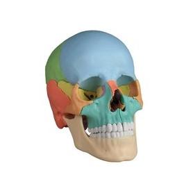 Crâne humain couleur 22 pièces Erler Zimmer