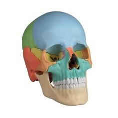 Crâne humain aimanté version didactique en 22 pièces Erler zimmer
