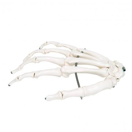Squelette de la main monté sur fil de fer, droite