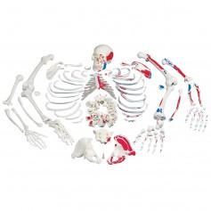 Squelette démonté avec représentation des muscles
