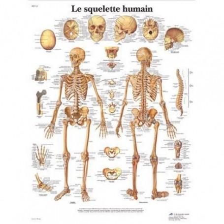 Planche anatomique : squelette humain