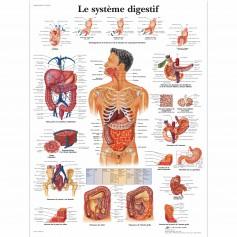Planche anatomique : système digestif