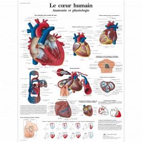 Planche anatomique : Le cœur humain