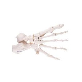 Squelette du pied montage libre sur fil de nylon, droite