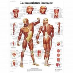 Planche anatomique La musculature
