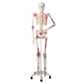 Squelette de luxe Sam, sur support à 5 roulettes