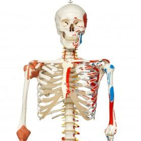 Squelette de luxe Sam, sur support suspendu