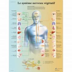 Planche anatomique du système nerveux végétatif