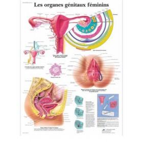 Planche anatomique Les organes génitaux féminins