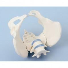Squelette du bassin féminin Erler Zimmer