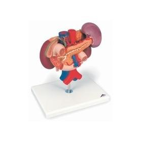 Reins avec organes postérieurs de l'épigastre, en 3 parties