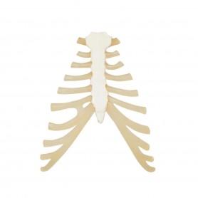Sternum avec cartilage de la cote