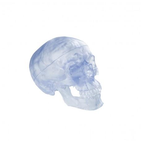 Crâne transparent, en 3 parties