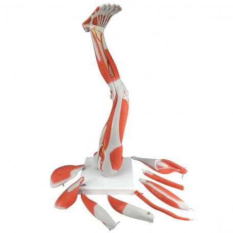 Muscles de la jambe, en 9 parties